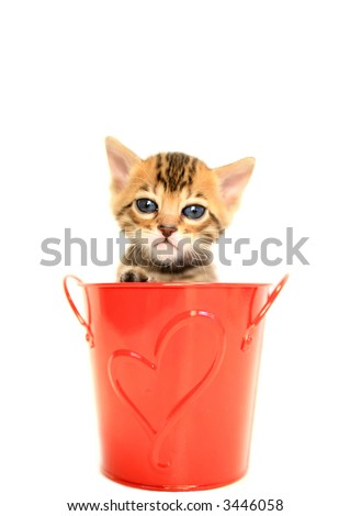 Cute Bengal kitten in red bucket with heart shape isolated on white