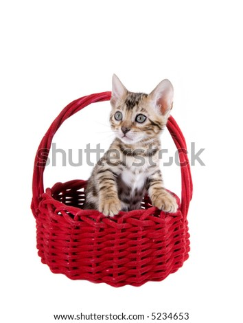 Cute Bengal kitten in red velvet holiday basket ( Christmas or Valentines) Isolated on white background - stock photo