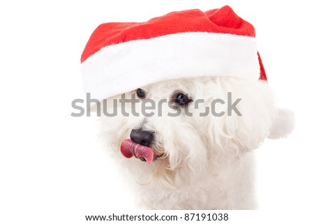 cute bichon frise is wearing a santa claus hat and licking its nose, closeup picture over white background - stock photo