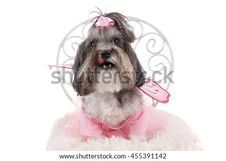 Cute Bichon Havanese dog, dressed like a fairy with wings, sitting on a chair and licking itself. Studio shot of an adorable dog wearing pink dress as Halloween costume. Isolated on white.