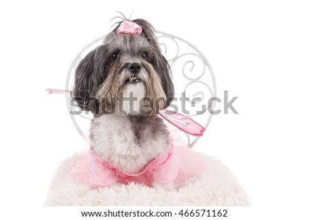 Cute Bichon Havanese dog, dressed like a fairy with wings, sitting on a chair. Studio shot of adorable dog wearing pink dress as Halloween costume. Isolated on white