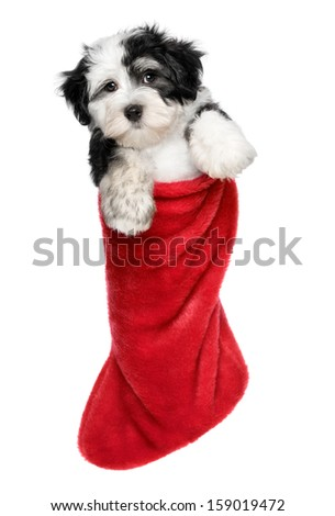Cute Bichon Havanese puppy dog is hanging on a Christmas - Santa boots. Isolated on a white background - stock photo