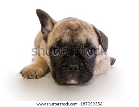 Cute big eye fawn french bulldog puppy with one ear up isolated on white - stock photo