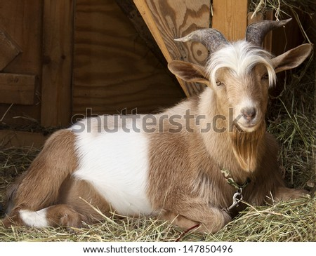 Cute billy goat with horns and big ears on a farm in Maine