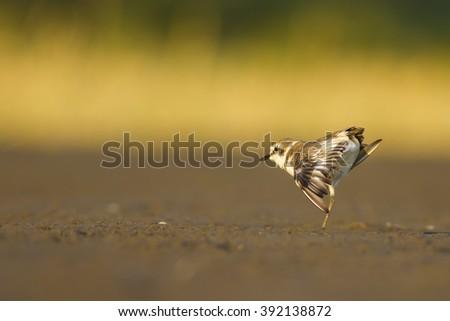 cute bird Plover stretching Kentish Plover / Charadrius alexandrinus - stock photo