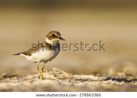 cute bird Ringed Plover dry lake bed Common Ringed Plover / Charadrius hiaticula - stock photo