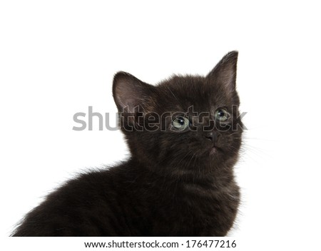 Cute black American shorthair kitten on white background