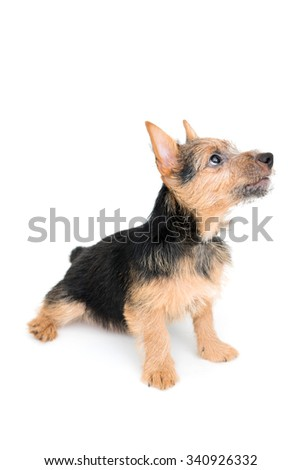 Cute black and tan color Norwich Terrier puppy dog isolated on white background - stock photo