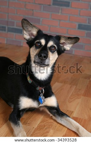 cute black and tan dog on wood floor with pointed ears - stock photo