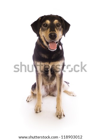 Cute black and tan dog with tags on collar isolated on white - stock photo