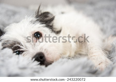 Cute Black and White Dog on Fluffy Gray Blanket - stock photo