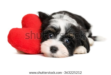 Cute black and white lover Valentine havanese puppy dog with a red heart - isolated on white background