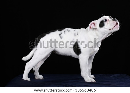 Cute black and white old english bulldog puppy on black background standing sideways