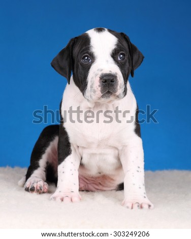 Cute black and white puppy on a blue background