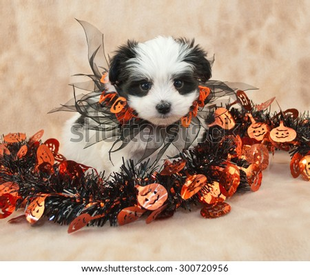 Cute black and white puppy that looks like he is wearing a mask all ready for Halloween. - stock photo
