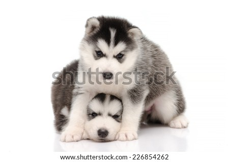 Cute black and white siberian husky puppies sitting and looking on white background isolated - stock photo