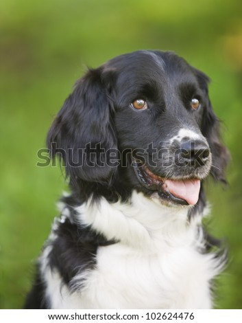 Cute Black and white Stabyhoun dog posing