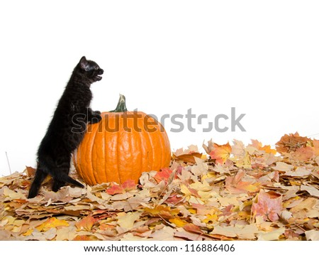 Cute black baby kitten with pumpkin and fall leaves on white background
