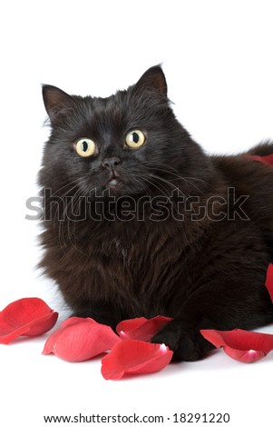 cute black cat in rose petals isolated - stock photo