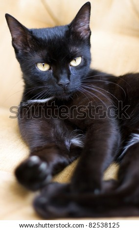 Cute black cat with yellow eyes - focus on eye - stock photo