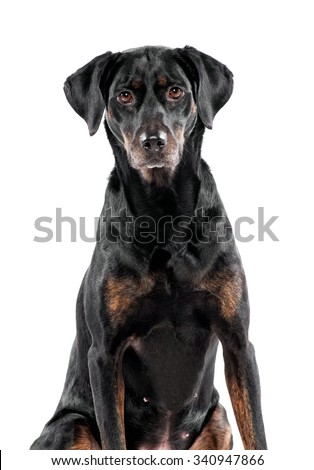 Cute black dog sitting staring at the camera with cocked ears and an alert curious expression, isolated on white - stock photo