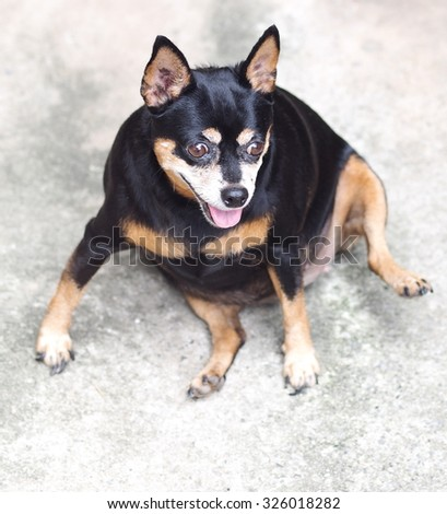 cute black fat lovely miniature pinscher dog with brown dog eyes smiling face close up resting outdoor on a country house's concrete garage floor portraits view - stock photo