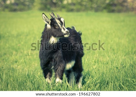 Cute black goat kid grazing at the meadow. Symbol of 2015 year.Toned image - stock photo