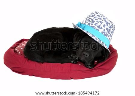 Cute black lab puppy asleep wearing hat - stock photo