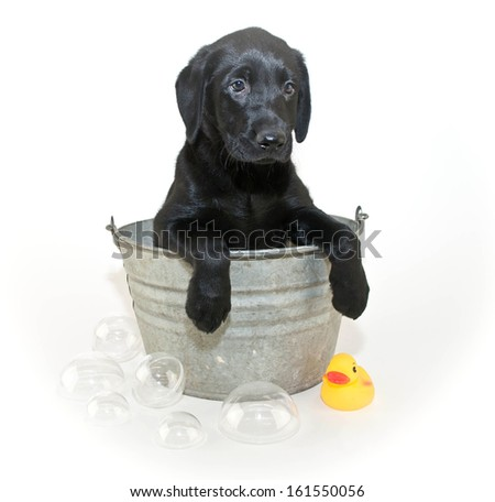 Cute Black Lab puppy sitting in a tub with bubbles and a rubber ducky.
