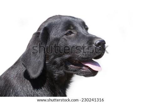 Cute black Labrador Retriever puppy portrait - isolated on white background - stock photo