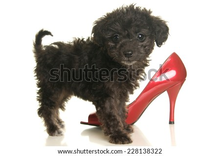 Cute black poodle puppy with a red high heeled shoe that might get chewed on - stock photo