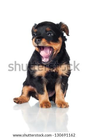 cute black puppy yawning - stock photo