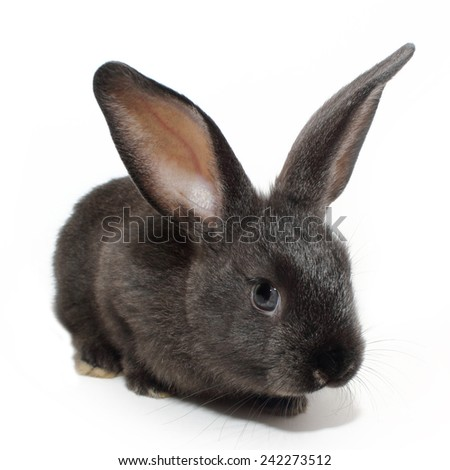 Cute black rabbit - stock photo
