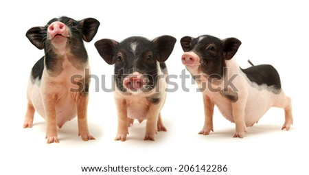 Cute black small-eared pig on white background  - stock photo
