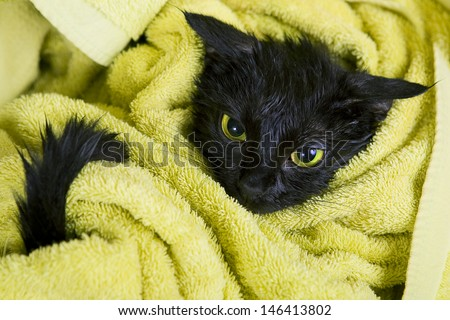 Cute black soggy cat after a bath - stock photo