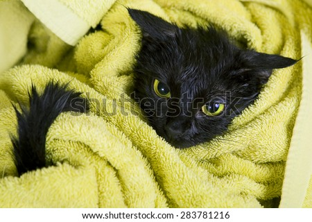 Cute Black Soggy Cat After a Bath in a yellow towel. Care of Pets: Bathing Kittens. A little Angry Black Cat looks like a Demon.  - stock photo