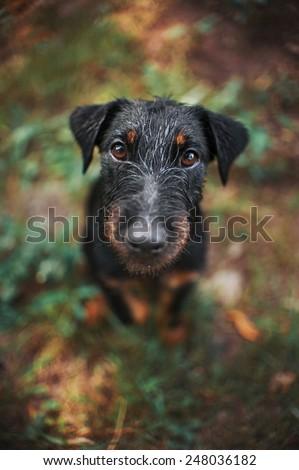 Cute black terrier dog, portrait close, summer - stock photo