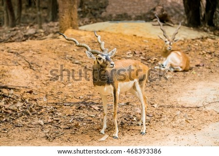Cute Blackbuck in the forest - Antelope cervicapra The blackbuck inhabits grassy plains and slightly forested areas.  Due to their regular need of water,