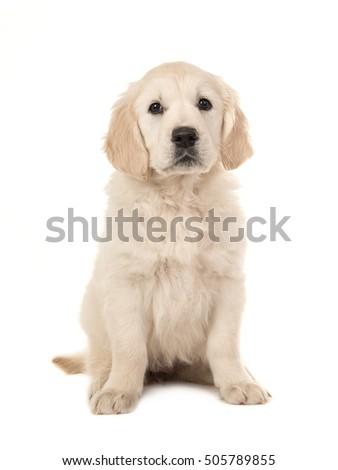 Cute blond golden retriever puppy sitting photo libre de droits 505789855 shutterstock - Golden retriever gratuit ...