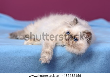 Cute blue-cream colorpoint persian kitten is lying on a blue bedspread in front of a purple wall background - stock photo