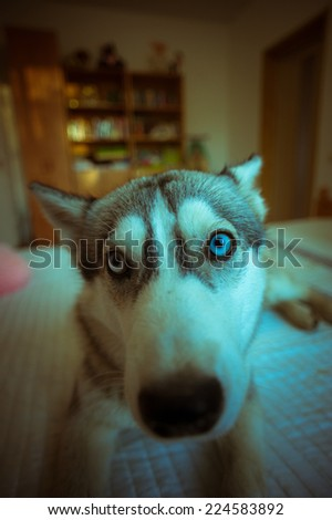 Cute blue-eyed husky puppy in the bedroom on the bed. - stock photo