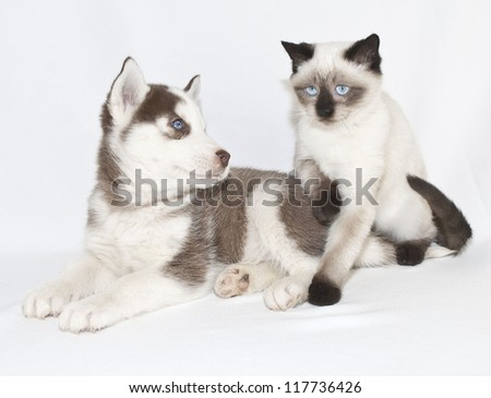 Cute Blue eyed puppy and kitten, on a white background. - stock photo