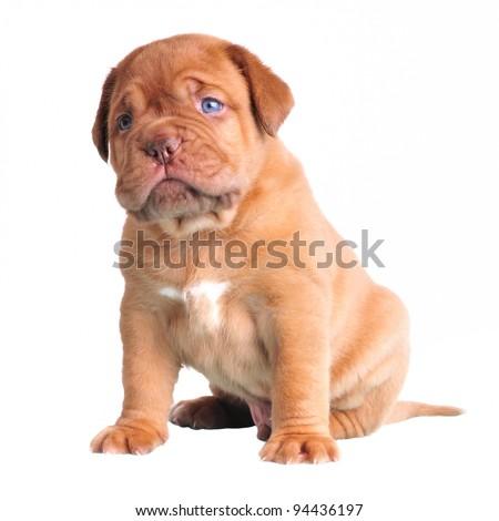 Cute Blue-Eyed Puppy sitting, isolated on white - stock photo