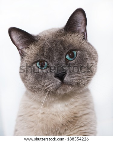 cute blue-eyed siamese cat    - stock photo