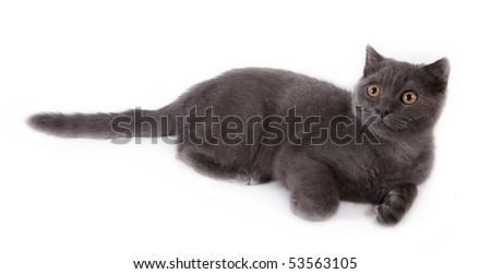 Cute blue shorthair kitten laying on white - stock photo