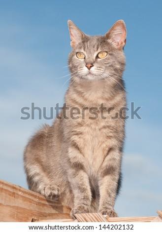 Cute blue tabby cat sitting on deck against blue sky - stock photo