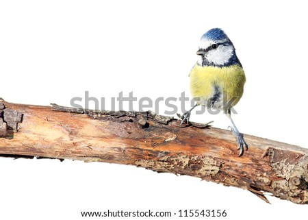 Cute blue tit on white - stock photo