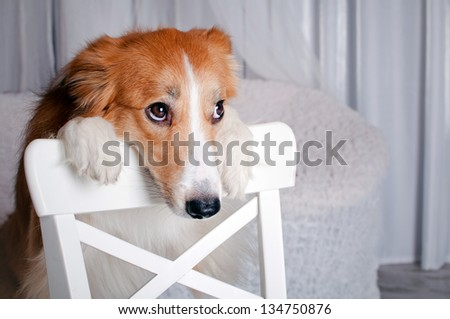 cute border collie dog portrait in studio - stock photo