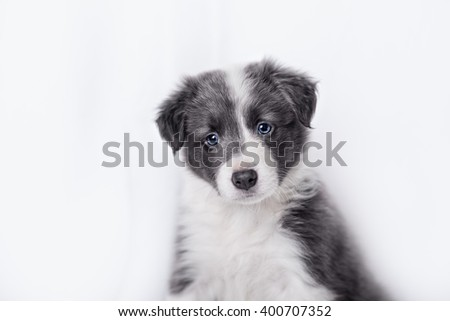 cute Border collie puppy, on a white background - stock photo