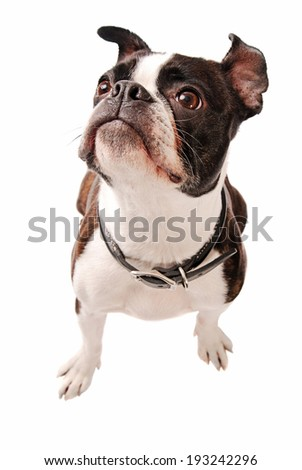 Cute Boston Terrier Dog Looking up on a white Background - stock photo